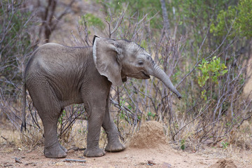 Very young African elephant calf