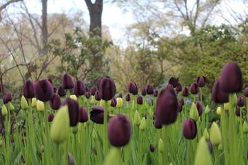 Tulipanes de Central Park.