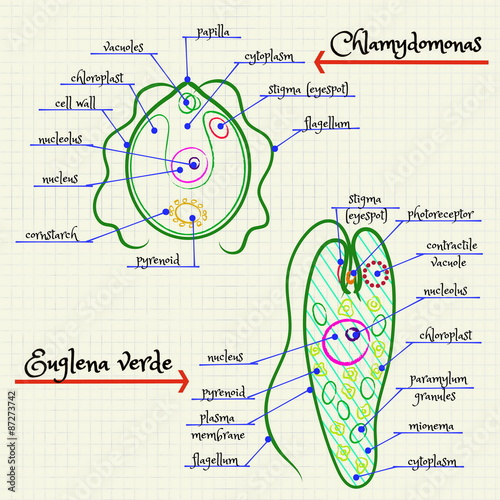 The Structure Of Chlamydomonas And Euglena Stock Image And Royalty