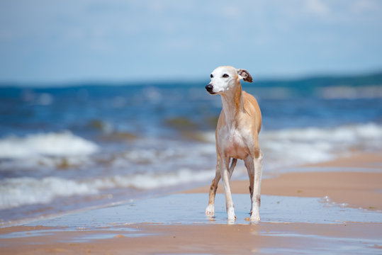red whippet dog standing on the beach