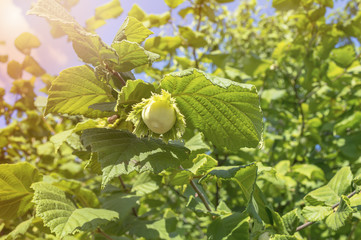 Green hazelnut on tree