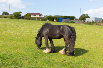 Gypsy traveller pony with long tail and hairy feet