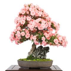 Azalee als Bonsai mit rosa Blüten