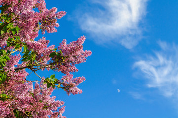Branch of purple lilacs on the background of blue sky