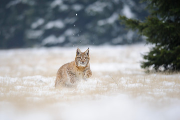 Wall Mural - Running eurasian lynx cub on snowy ground in cold winter