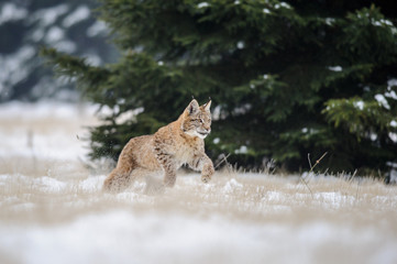 Wall Mural - Running eurasian lynx cub on snowy ground with tree in background