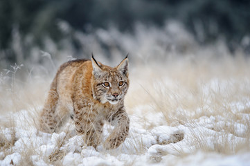 Photo sur Aluminium Lynx Eurasian lynx cub walking on snow with high yellow grass on background