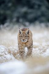 Wall Mural - Eurasian lynx cub on snowy ground