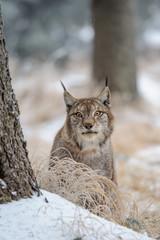 Wall Mural - Eurasian lynx between trees in winter time
