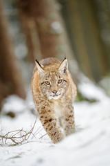 Wall Mural - Eurasian lynx cub walking on snow in forest