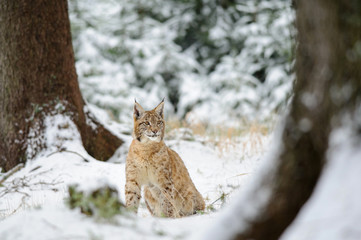 Wall Mural - Eurasian lynx cub sitting in winter colorful forest with snow