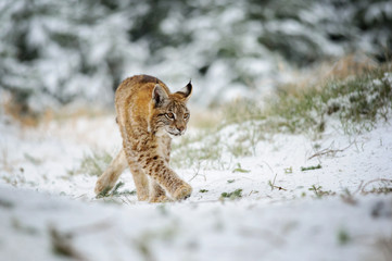 Wall Mural - Eurasian lynx cub walking in winter colorful forest with snow