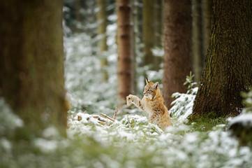 Wall Mural - Eurasian lynx cub shaking down snow from paw