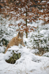 Wall Mural - Eurasian lynx cub lying in winter colorful forest with snow