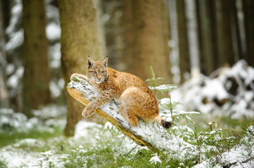 Wall Mural - Eurasian lynx cub lying on tree trunk in winter colorful forest