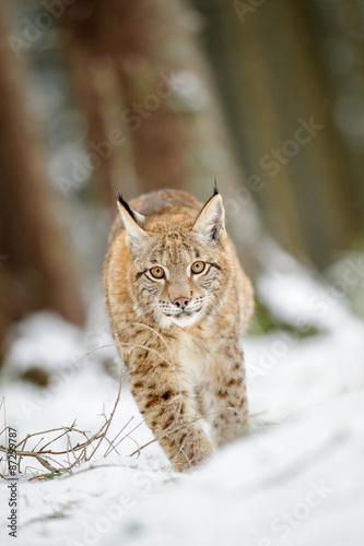 Wall mural Eurasian lynx cub walking on snow in forest
