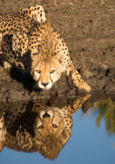 Cheetah crouching at water's edge with reflection, Tanzania