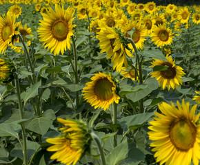 summer field of bright sunflowers