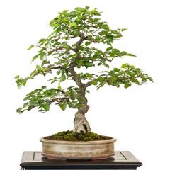 Hainbuche aus Korea als Bonsai Baum