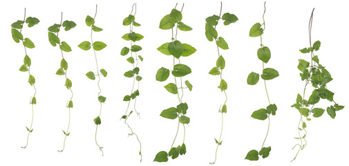 Collected Merremia hederacea isolated on white background Wall mural