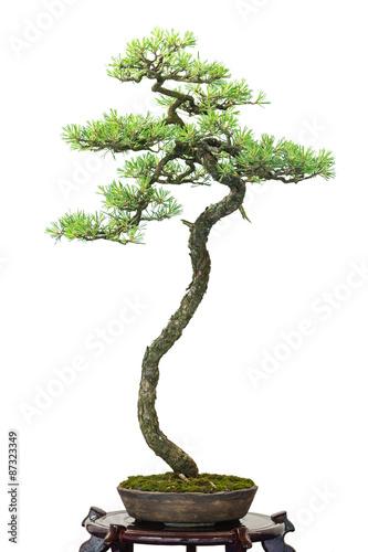 nadelbaum kiefer als bonsai baum stockfotos und lizenzfreie bilder auf bild 87323349. Black Bedroom Furniture Sets. Home Design Ideas