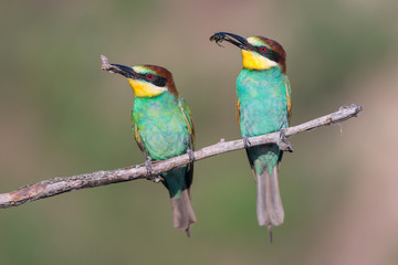 European bee-eaters sitting together on a brach