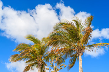 Palm trees against blue sky background with clouds, Lanzarote, Canary Islands, Spain