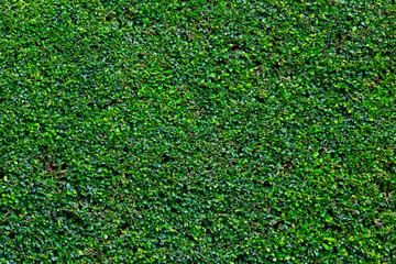 The Green Creeper Plant