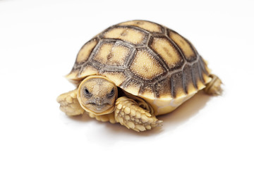 african spurred tortoise or geochelone sulcata on white backgrou