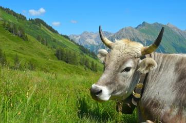Kuh mit Hörnern auf Bergwiese in Bayern
