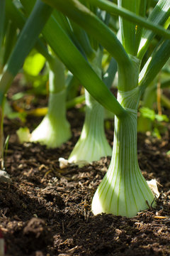 Growing onion blured background