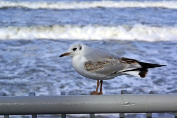 Seagull on the background of the sea