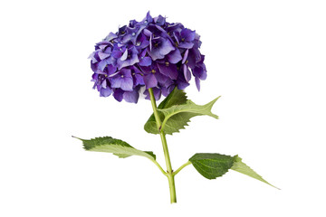 hydrangea isolated