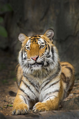 Aluminium Prints young sumatran tiger