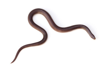 Eastern Wormsnake