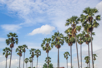 sugar palm trees sky background.