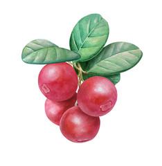 Bilberries, Botanical illustration