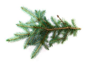 Blue pine branch close-up