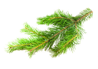 Pine branch on a white background for your design