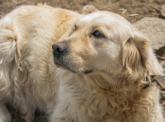 Head shot of Golden Retriever close up