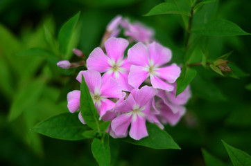 phlox with pink and white flowers