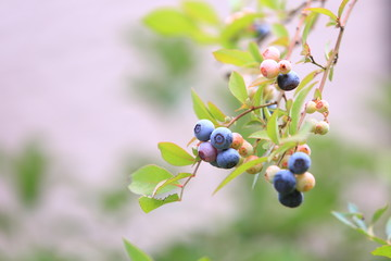 The blueberry that ripened in beautiful purple.