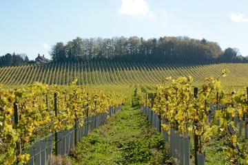 Wall Murals Vineyard English vineyard in Autumn