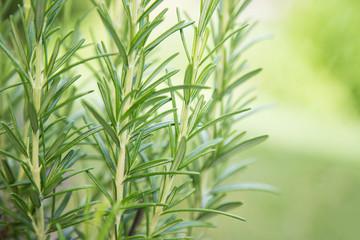 Fresh Rosemary Herb, close-up.