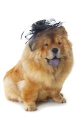 Fototapete - chow-chow dog