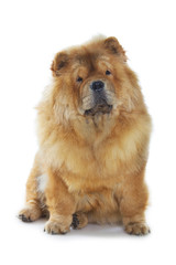 Wall Mural - chow-chow dog