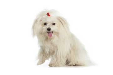 Wall Mural - White Maltese dog is sitting on white background