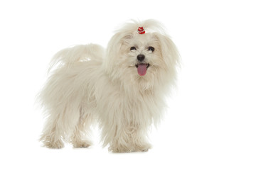 Wall Mural - White Maltese dog isolated on white background