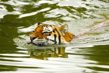 Door stickers Tiger Tijger man zwemt.