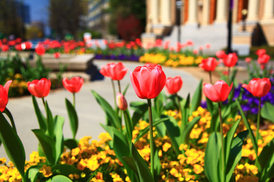 Pink Tulips Blooming with the Christian Science Reading Room in the Background